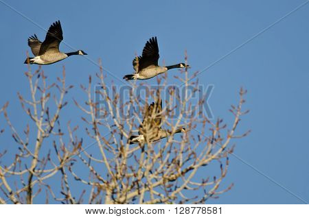 Canada Geese Flying Low Over the Winter Trees ** Note: Soft Focus at 100%, best at smaller sizes