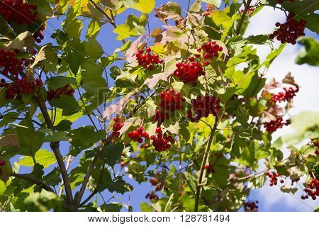 Viburnum shrub garden with red berries against the blue sky