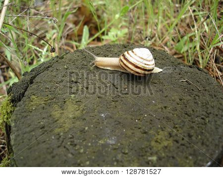 Burgundy snail on old tree stump in the forest.
