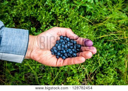 handful of fresh huckleberries collected in Carpathian mountains