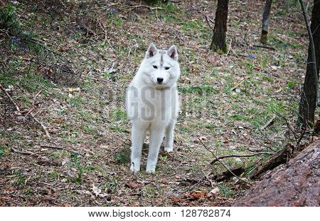 Siberian husky on nature in the forest