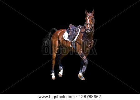 Horse under saddle brown color on a black background.