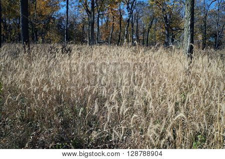 Tall grasses during October in a natural area of Joliet Junior College in Joliet, Illinois.