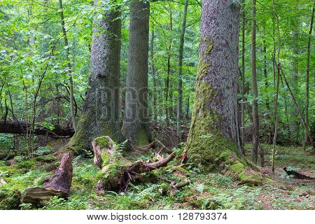 Group of old spruces inside deciduous stand of Bialowieza Forest, Poland, Europe