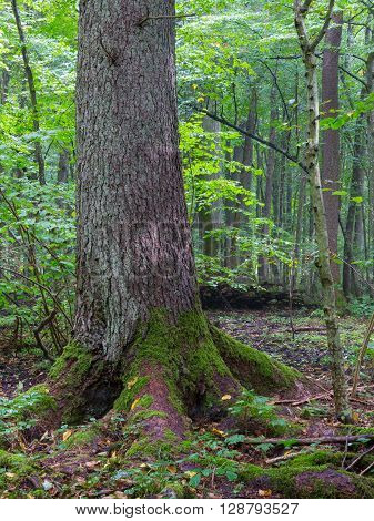 Old Norwegian Spruce(Picea abies) in foreground and old oak in background Bialowieza Forest, Poland, Europe