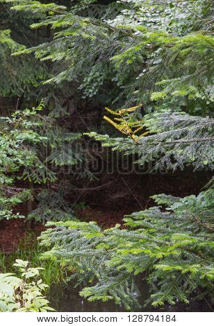 Fir (Picea alba) branches in summertime forest, Bieszczady Ridge, Poland, Europe