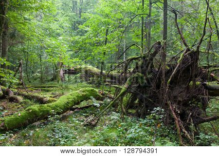 Old oak lying with root visible in front of natural deciduous stand of Bialowieza Forest, Bialowieza Forest, Poland, Europe