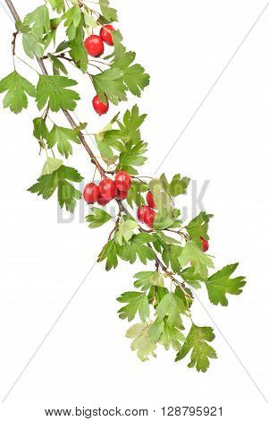 branch hawthorn with leaves and berry isolated on white background
