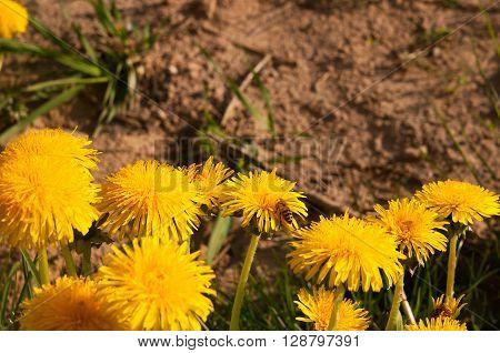 bee collects nectar on a dandelion, yellow dandelion, flower, green grass, yellow pollen