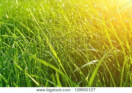 Summer natural background - closeup of fresh bright green grass on the lawn lit by shining sunny light. Landscape background bottom view.