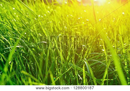 Summer natural background - closeup of fresh bright green grass on the lawn lit by shining sunlight. Landscape summer background bottom view.