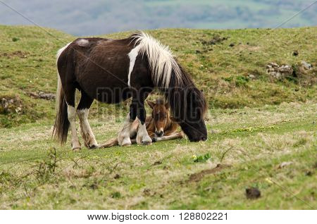 Dartmoor pony male foal between mother's legs. A wild mare with baby hardy horses that have been feral for centuries in parts of the UK