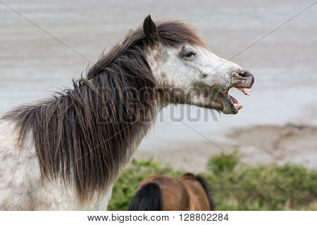 Grey Dartmoor pony stallion with mouth open and teeth. The native horse breed of Devon, UK, living wild on inhospitable coastal grassland