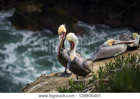 Four colorful brown pelicans with yellow heads resting on a rocky cliff in San Diego, California above the blue ocean in La Jolla cove