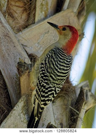 Red Bellied Woodpecker on Cabbage Palm Tree