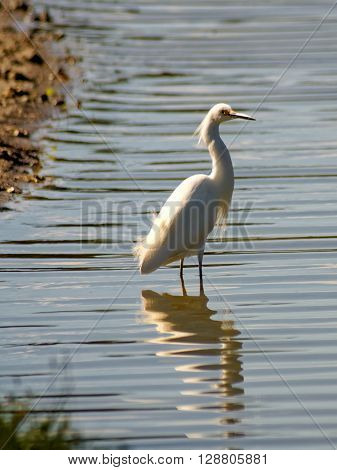 Snowy Egret standing in water of South Florida lake