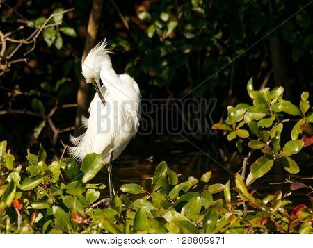 Snowy Egret grooming preening feathers with beak