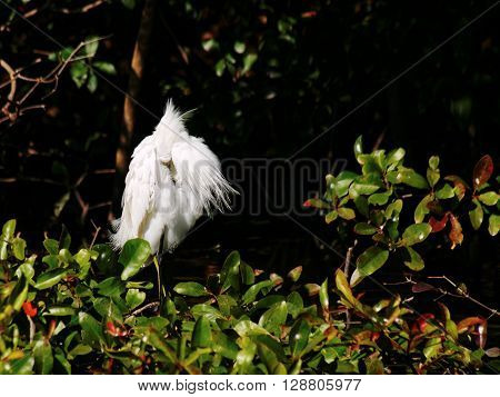 Frontal view of Snowy Egret with beak buried in plumage grooming preening feathers
