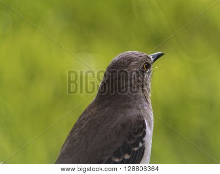 Arkansas Mississippi Tennessee Texas Florida state bird Northern Mockingbird looking out into distance with blurred green background