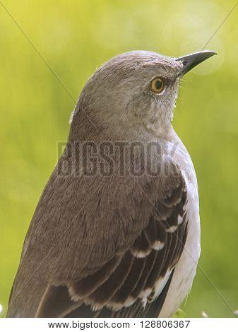 Close up of Northern Mockingbird state bird of Florida Texas Arkansas Tennessee South Carolina Mississippi