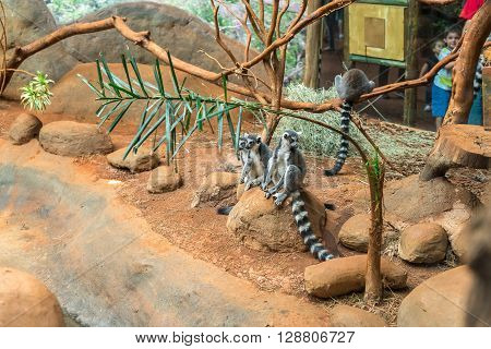 The Ring Tailed Lemur (lemur Catta) Eating
