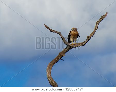Frontal View of Red Shouldered Hawk perched on a dead tree with its head turned looking to its right beak slights open