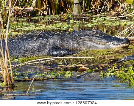 Large American Alligator on marshy land neak water in Florida Wetlands