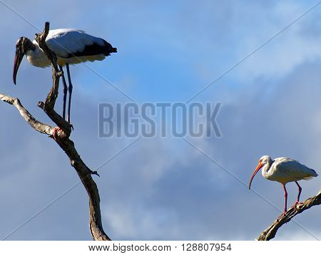Wood Stork and American White Ibis perching on different limbs of dead tree