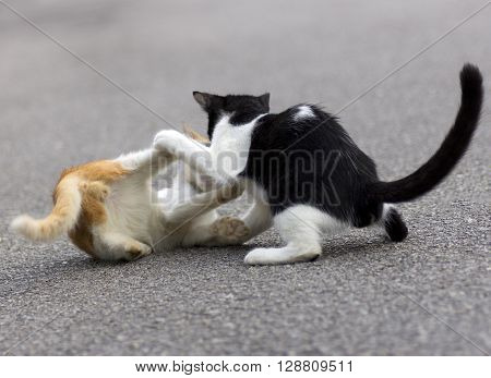 Cats enjoying playing with one another on tarmac.