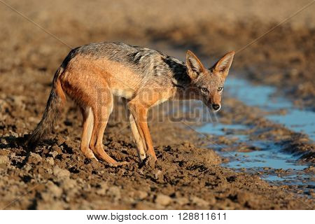 A black-backed jackal (Canis mesomelas) at a waterhole, Kalahari desert, South Africa