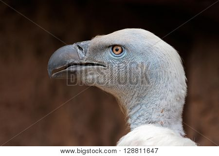 Portrait of an endangered Cape vulture (Gyps coprotheres), South Africa