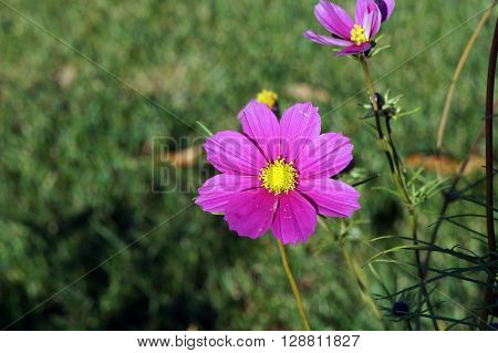 A garden cosmos flower (Cosmos bipinnatus), also called the Mexican aster, blooms during November in the Wildflower Park in Naperville, Illinois.
