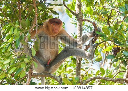 Wild proboscis monkey sit at shaded area to avoid from hot sun at mangrove forest in Sandakan Sabah Malaysia.