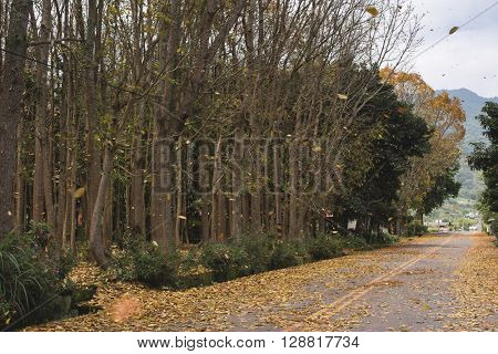 countryside road with leaves on the ground in spring in Taiwan, the tree called Honduras Mahogany tree.