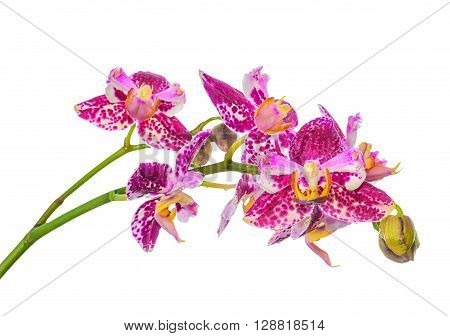 Beautiful Blooming Unusual Purple Orchid, Phalaenopsis Is Isolated On White  Background