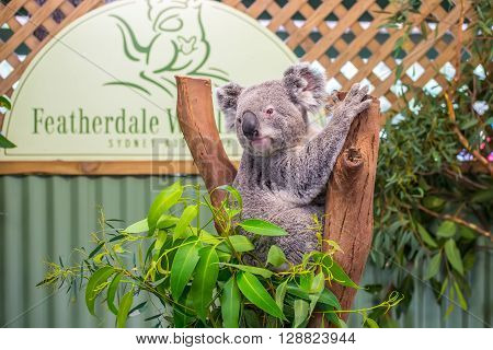 Doonside Australia - November 10 2014: Cute Koala in Featherdale Wildlife Park Doonside Australia.