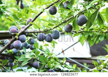 Ripe plums on tree branch, close up