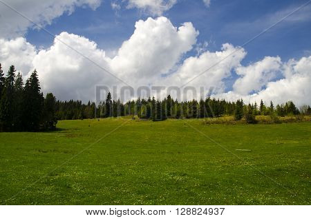 Mountain forest and lawns. Summer landscape with green grass blue sky and white fluffy clouds