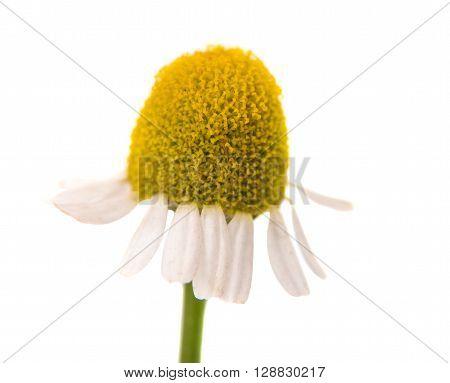 Medical Chamomile isolated on white background, botany, calm, care,