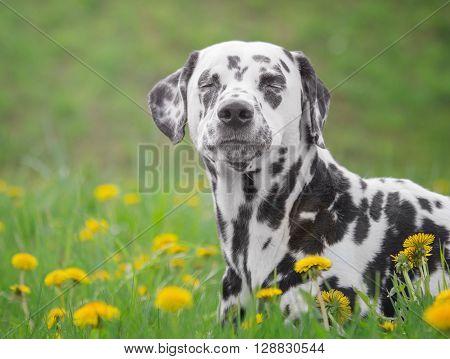 Cute happy dalmatian dog puppy laying on fresh summer grass