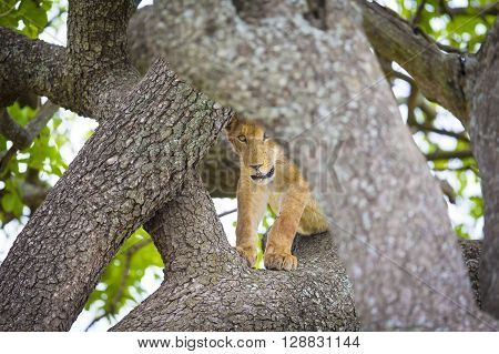 African lion cub plays and rests in a tree a hot day in Serengeti, Tanzania.