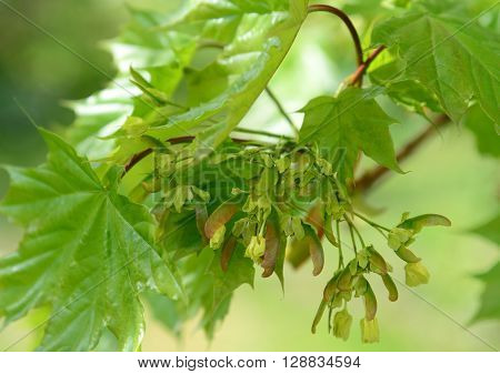 A Young maple leaves in a spring