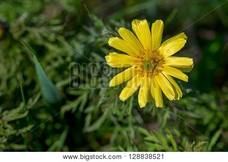 Spring pheasant's eye (Adonis vernalis) blossoms in steppe