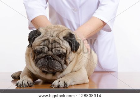 Pug Is A Dog, The Veterinarian Inspects