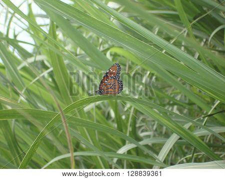 Monarch butterfly in a sugar cane field.