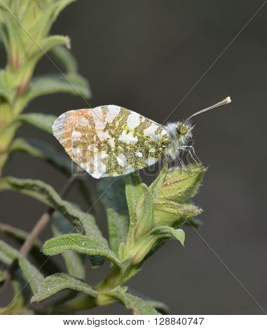 Orange Tip Butterfly - Anthocaris cardamines phoenissa Male at rest