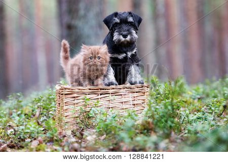 schnauzer puppy and kitten posing outdoors together
