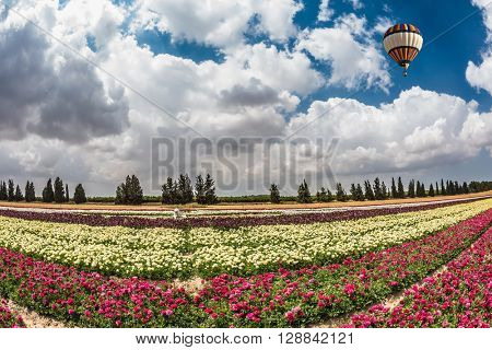 Great multi-colored balloon flies over flower field. Flowers on the field planted by color stripes. Israeli kibbutz on the border with Gaza Strip