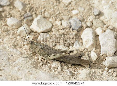 Egyptian Grasshopper - Anacridium aegyptium Large Insect on Chalk Rock