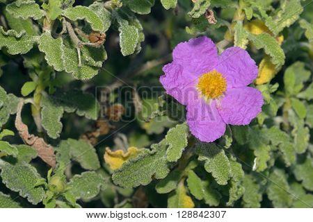 Cretan Cistus - Cistus creticus Common Mediterranean Flower
